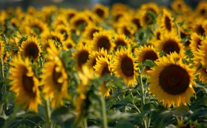 French property in Poitou Charentes Sunflowers