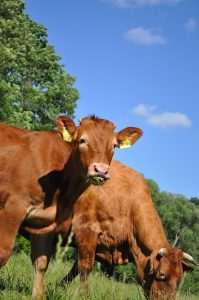 Cattle in the Limousin Region